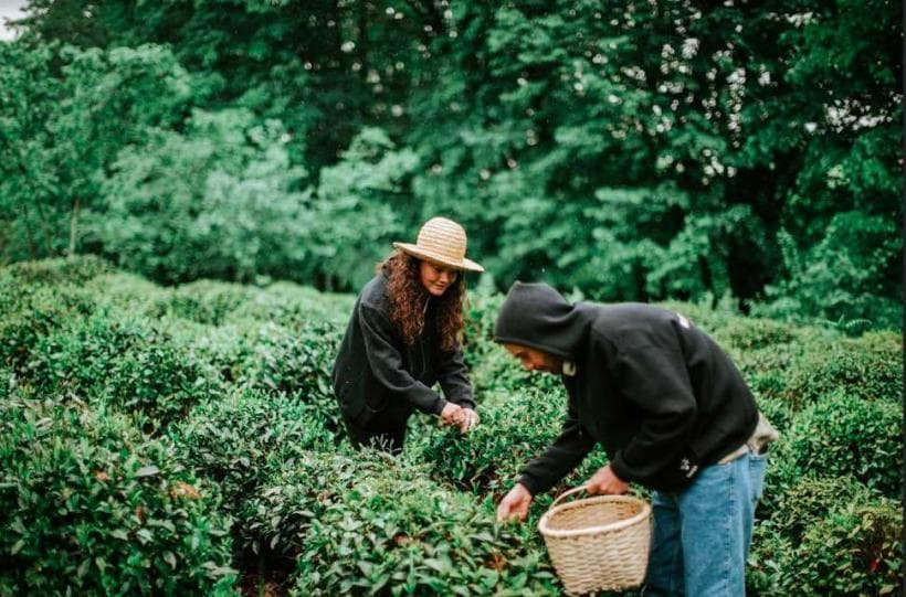 Tourists picking up tea in Georgia