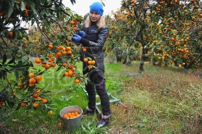 Tangerine harvesting process in Georgia
