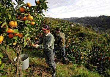 Tangerines harvest in Georgia